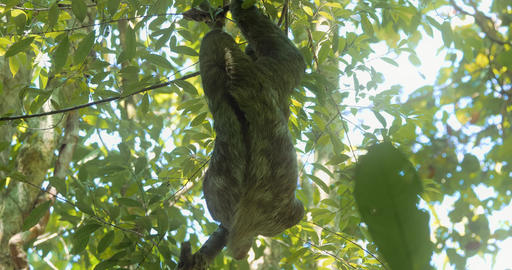 Three Toed Sloth With Its Baby, Costa Rica Live-Action