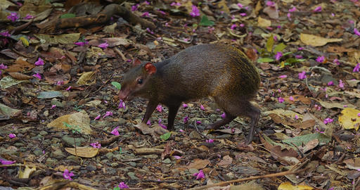 Central American Agouti, Gathering Food, Costa Rica Footage
