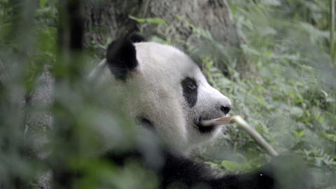 Wild Panda chewing at a piece of broken bamboo Stock Video Footage