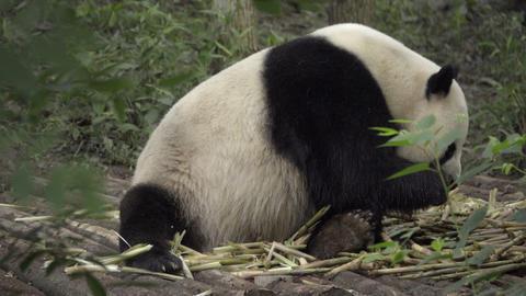 Large Panda sits eating bamboo Footage