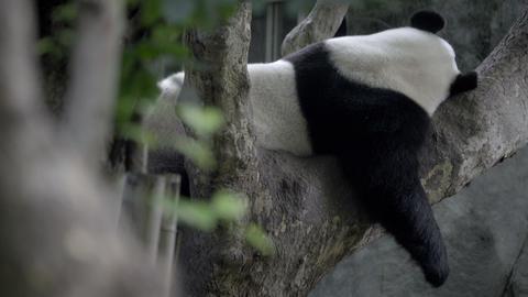 Panda sleeping in a tree Footage