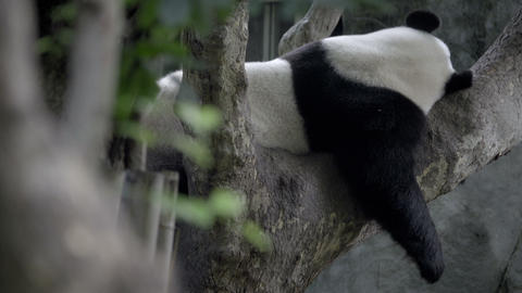 Panda sleeping in a tree Stock Video Footage