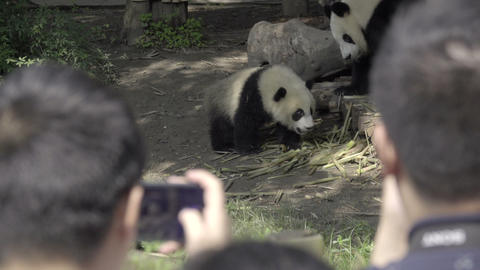 Panda enclosure surrounded by tourists Live Action