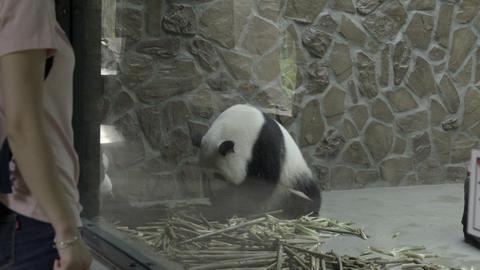 Sad Panda sits in a cruel concrete enclosure Live Action