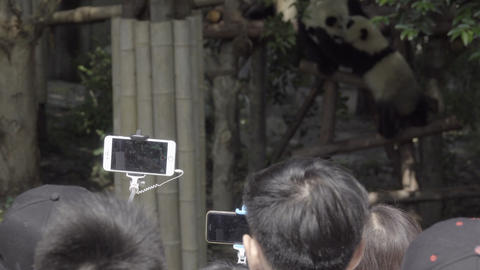 Panda being photographed by selfie stick users Footage