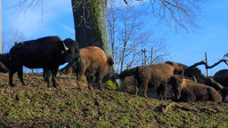 Farmed Bison, Buffaloes ビデオ