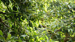 Avocados fruit hanging in branch of tree in a plantation of avocados trees Footage