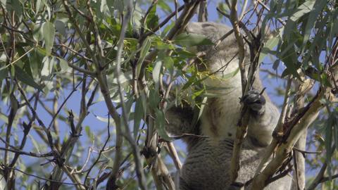 A Koala feeding on leaves Footage