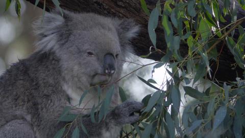 Koala plucking and eating leaves Footage