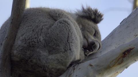 Sleeping Koala precariously perched in a tree Footage