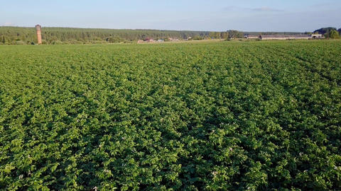 Flying over the potato field, From Dron Footage