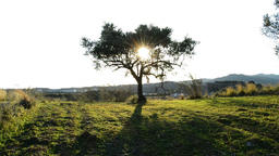 Olive Tree in Field at Sunset Footage