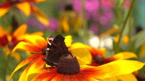 Beautiful butterfly crawling on yellow rudbeckia flower and flying away, super Footage
