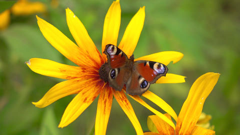 Peacock butterfly on yellow rudbeckia flower. 4K close up video Footage