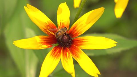 Bee collecting pollen on yellow rudbeckia flower. 4K macro video Footage