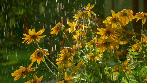 Yellow coneflowers and falling drops of water. Super slow motion video, 250 fps Live Action