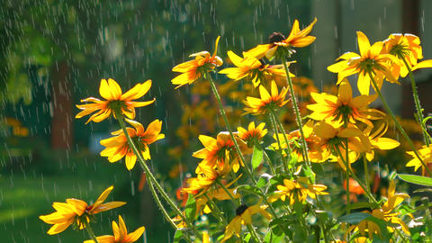 Yellow coneflowers and falling drops of water. 4K video Footage