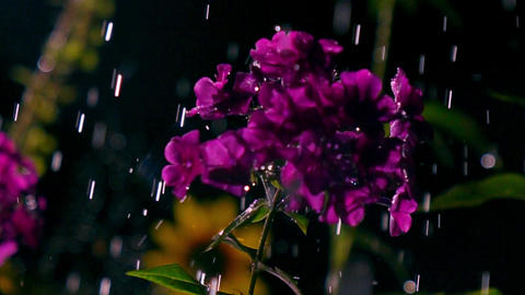 Purple flowers and falling drops of water at night. Super slow motion video, 500 Footage