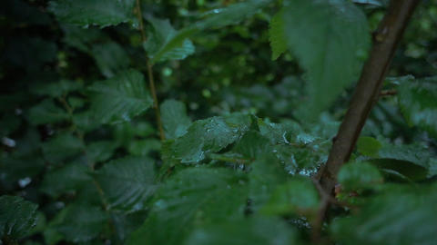 Trees and leafs in the rain Footage
