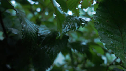 Wet leafs after rain Live Action
