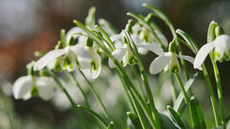 Snowdrops blooming in spring, Galanthus nivalis Footage