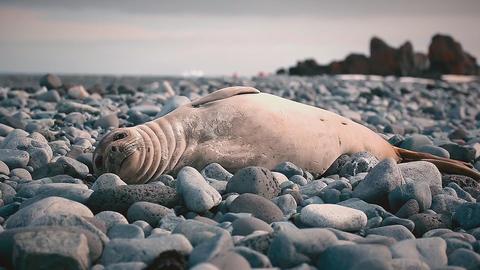 Fur seals rest on coastal stones Footage