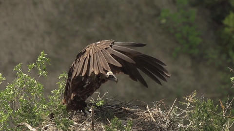 "bird, black vulture ""Aegypius monachus"" in its nest Footage"