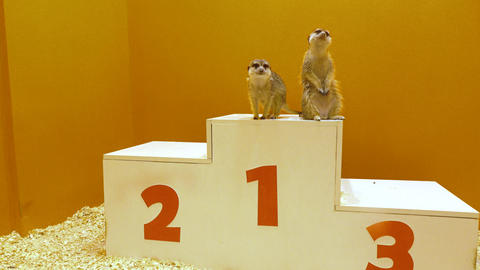 Two funny meercats sharing first place at victory podium. Leader, victory Live Action