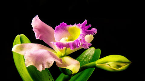 Time Lapse - Blooming Cattleya Orchid Flower with Black Background - 4K Footage