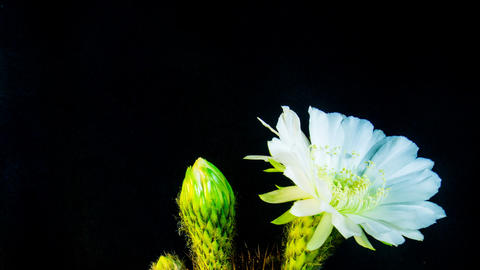 Time Lapse - Two White Echinopsis Cactus Flowers Blooming with Black Background Footage