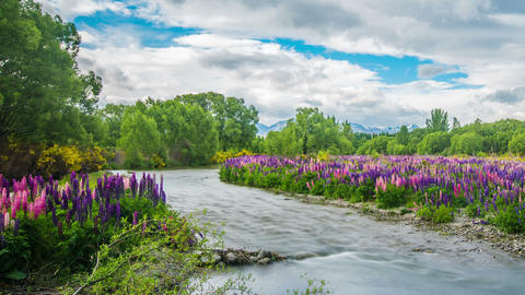 Time Lapse - Beautiful Lupine Flower Growing on the River 6D Footage