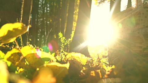 Falling yellow leaves against blazing sun and picnic basket. Sunny autumn day ライブ動画