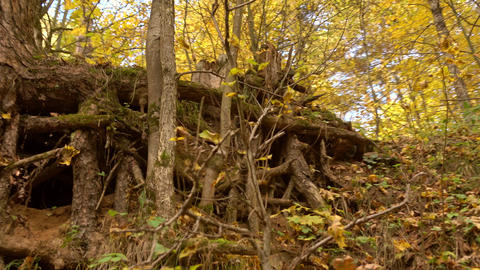 Steadicam shot of tree roots in sunny autumn forest. 4K video Footage