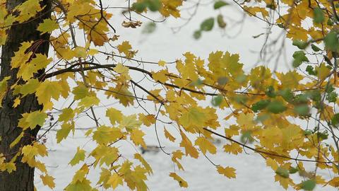Autumn river waterfowl birds Footage