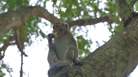 Monkey is eating fruit while sitting on tree Footage