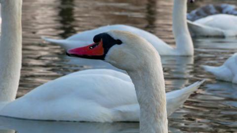 Swan swiming on river 4k Footage