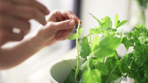 Woman picking basil leaves from plant in flowerpot Footage