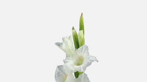 Time-lapse of opening white gladiolus flower, 4K with ALPHA channel Footage