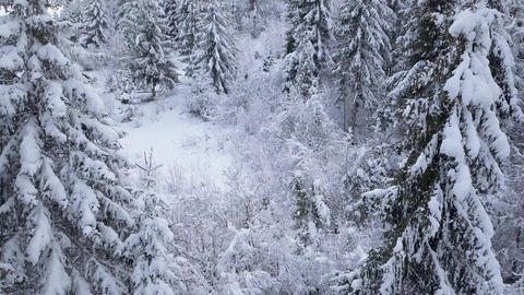 Flight over snowy mountain coniferous forest. Clear frosty weather Footage
