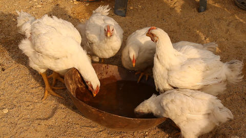 Hens drinking water Footage