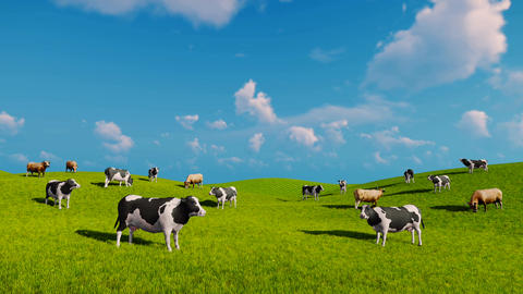 Cows graze on the open green meadows Live Action