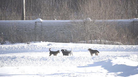 Stray dogs on winter road Footage