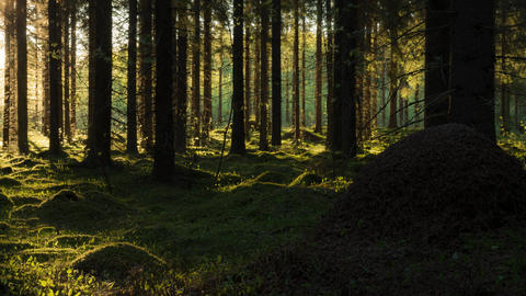 Shadows in spruce forest time-lapse Footage