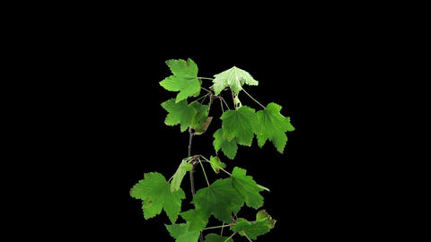 Time-lapse of drying white currant leaves in RGB + ALPHA matte, time reverse Footage