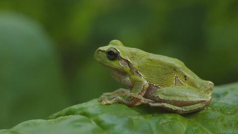 A green tree frog sits on the leaves of plants. (close-up) Footage