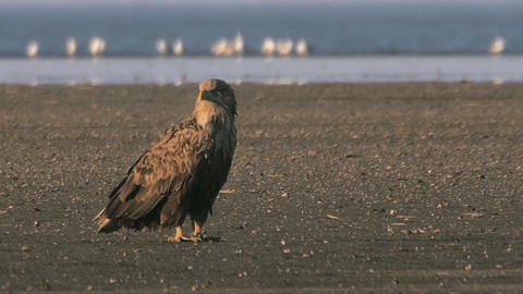 Proud eagle bird sits on the shore of Lake Baikal Footage