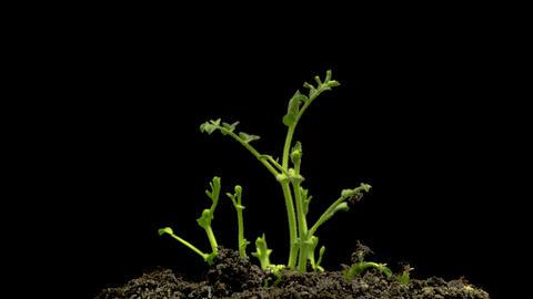 Chickpeas Seeds Germination on Black Background 영상물