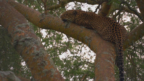 Leopard resting on branches of trees. (East Africa, Uganda) Live Action