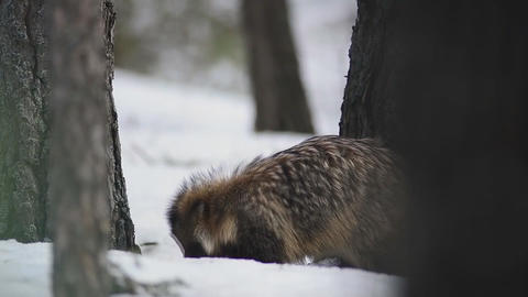 Raccoon in the winter forest Footage