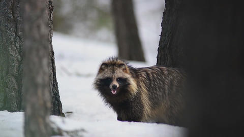 Raccoon in the winter forest Stock Video Footage